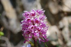 orchis-simia.jpg